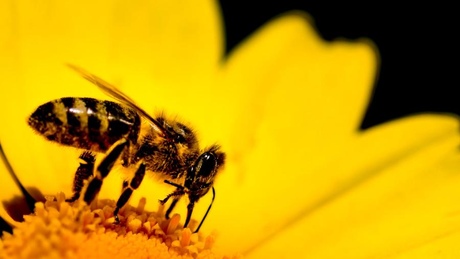 белодробни заболявания пчелно млечице
